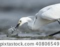 小白鷺 年輕的香魚 鳥兒 40806549