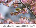 樱花和梅次郎 40810621