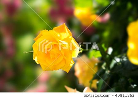 黃色玫瑰花 40811562