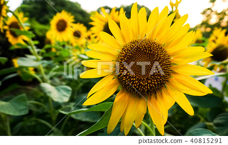 summer, sunflower, sunflowers 40815291