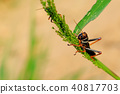 Black, orange red grasshopper, Gran Chaco, Paraguay 40817703