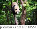 Giant panda in a tree 40818551