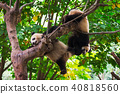 Young giant pandas playing in a tree 40818560