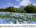 네모필라, 꽃, 플라워 40820890