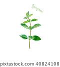 oregano, watercolor, leaf 40824108