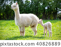 White Alpaca with offspring, South American mammal 40826889