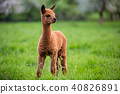 Portrait of a young Alpaca 40826891