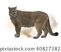 Florida panther or cougar watercolor 40827382