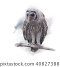 Barred Owlet Perches on a Branch 40827388