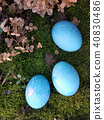 Blue Easter eggs lying on the moss. The concept of coloring eggs with natural means or simply cute 40830486