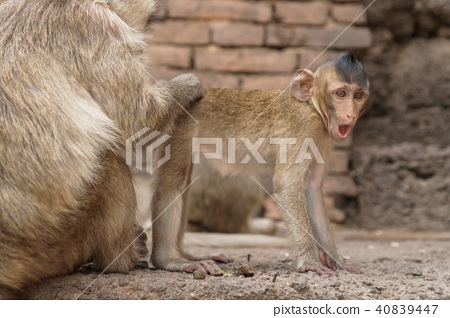 Group of monkeys in Thailand 40839447