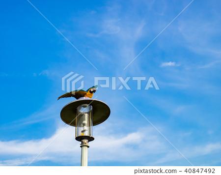 街燈上的鸚鵡 40847492
