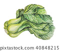 White Chinese cabbage 40848215
