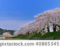 벚꽃, 왕벚나무, 벚꽃나무 40865345