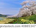 Hinoki Uchikawa櫻花 40865347