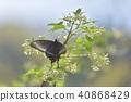 papilio, maackii, butterfly 40868429