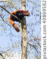 Red panda high up in the trees 40869562