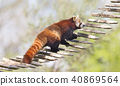 Red panda high up in the trees 40869564