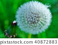 Dandelion like dandelion (Watake) and jewelry Photo 40872883