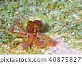 章魚 動物 軟體動物 40875827