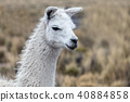 portrait of white lama 40884858