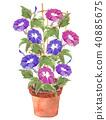 Asagao盆栽紫紅色紫色 40885675