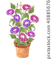 Asagao盆栽植物紅紫色紅色玫瑰 40885676