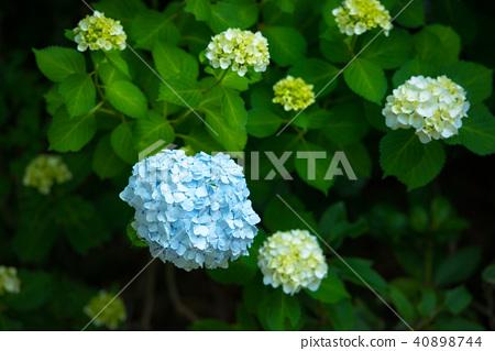 绣球花在花园里 40898744