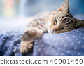 cat, pussy, american shorthair 40901460