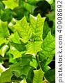 호랑가시나무, 잎, 이파리 40908692