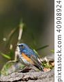 蛛蛛 雄性 紅脅藍尾魚 40908924