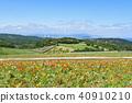 poppy, hanasajiki, bloom 40910210