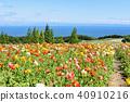 poppy, hanasajiki, bloom 40910216