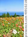 poppy, hanasajiki, bloom 40910218