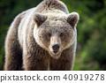 bear, animal, wildlife 40919278