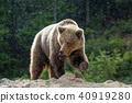 animal, bear, wildlife 40919280
