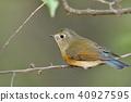 野生鳥類 野鳥 鳥兒 40927595