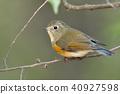 野生鸟类 野鸟 鸟儿 40927598