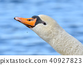 swan, wild, bird 40927823