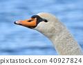 天鵝 野生鳥類 野鳥 40927824