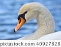 swan, wild, bird 40927828
