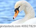 天鵝 野生鳥類 野鳥 40927829