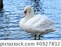 swan, wild, bird 40927832