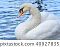 swan, wild, bird 40927835