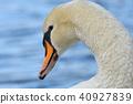 swan, wild, bird 40927839