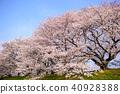 교토 하치만 背割提의 벚꽃 40928388
