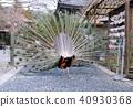 孔雀 鳥兒 鳥 40930368
