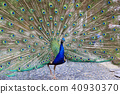 peacock peafowl bird 40930370