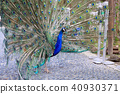 peacock peafowl bird 40930371