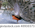 peacock peafowl bird 40930373